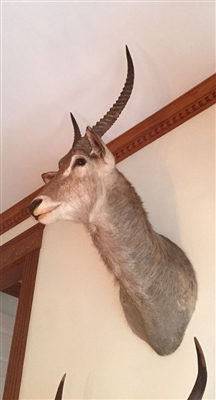 Antelope Mounted Trophy Head
