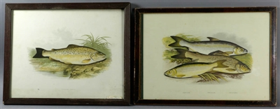 Two Antique Lithographs of Fish