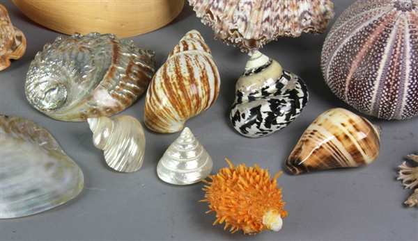 Large Collection of Over (50) Seashells