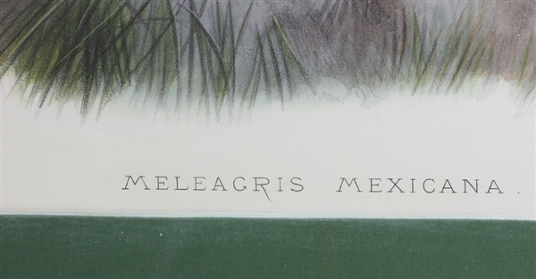 19thC Hand Colored Lithograph, Meleagris Mexicana
