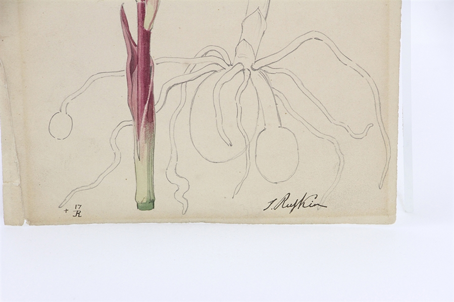 T Ruskin, Orchids Robertiana, Colored Drawing